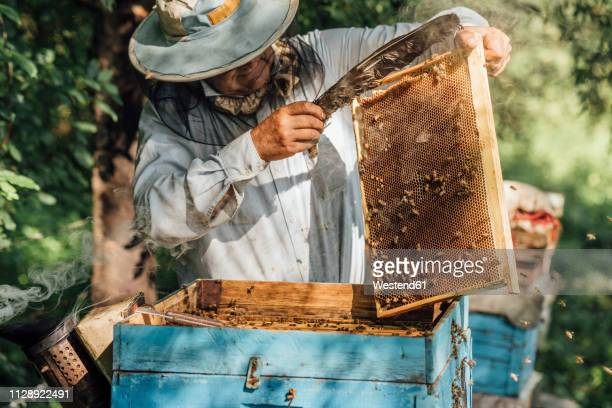russland, beekeeper checking frame with honeybees - 養蜂家 ストックフォトと画像