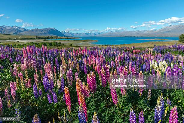 russle lupines at lake tekapo - texas bluebonnet stock pictures, royalty-free photos & images