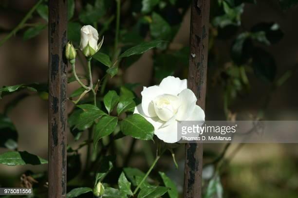 rust and roses - rust colored - fotografias e filmes do acervo