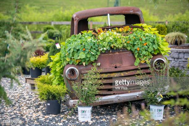 Rusted out pickup covered in greenery at nursery, Lothian, MD..