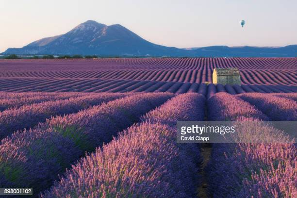 A rustic barn amongst rows of lavender in Provence, France