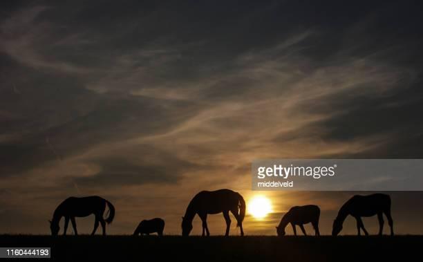 rustieke sunset view met grazende paarden - paard paardachtigen stockfoto's en -beelden