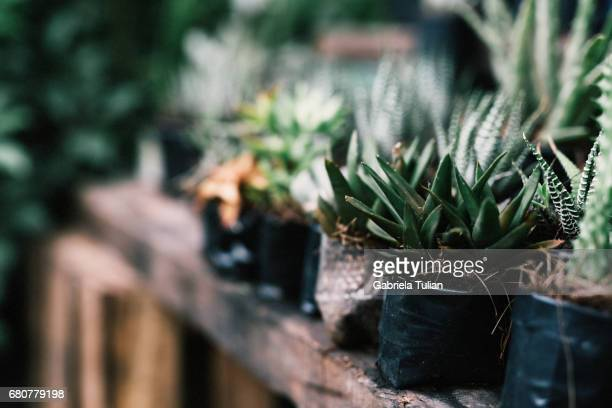 Rustic table with many cactus for sell