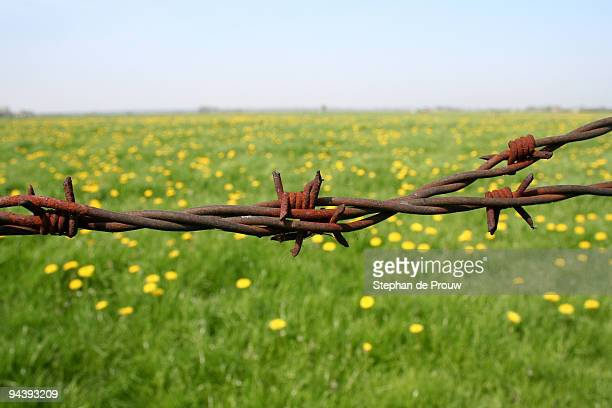 rusty barb wire and dandelion field in the spring - stephan de prouw stock pictures, royalty-free photos & images
