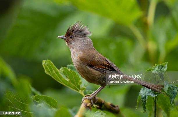 rusty fronted barwing - yunnan province stock pictures, royalty-free photos & images