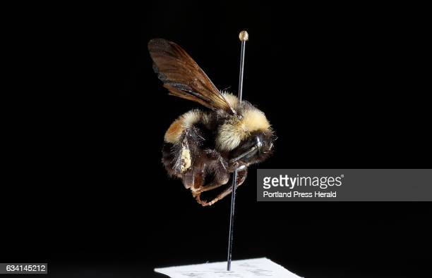 Rusty Patched bumblebee is seen Tuesday Jan 31 2017 at the Maine State Museum Archives in Hallowell Maine