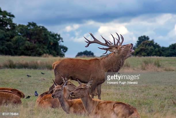 2016 rut. richmond park - richmond upon thames stock pictures, royalty-free photos & images