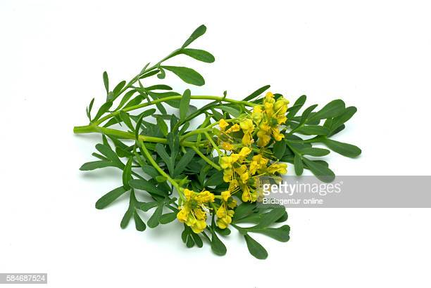 Ruta graveolens, commonly known as rue, common rue or herb-of-grace, is a species of Ruta grown as an herb. It is cultivated as a medicinal herb, as...