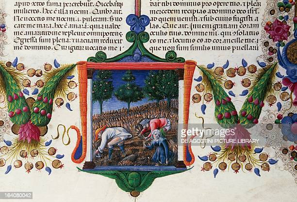 Ruth gleaning in Boaz's field from the Bible of Borso d'Este illuminated by Taddeo Crivelli and others Latin manuscript 422423 parchment 14551461...