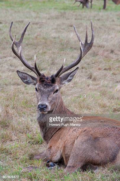 rutting season 2016 - size does matter stock photos and pictures