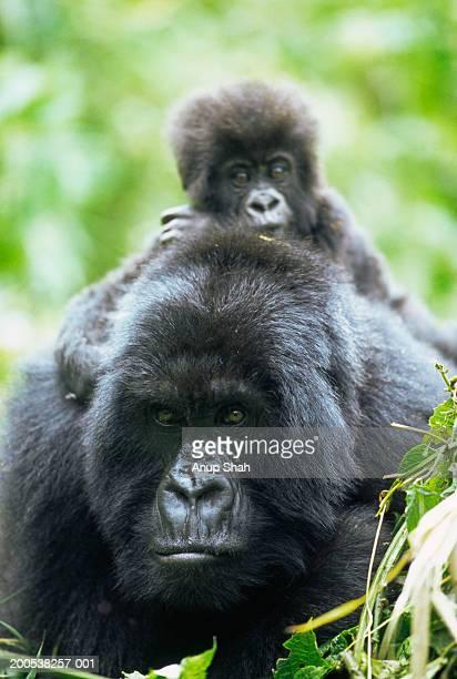 Rwanda, adult female mountain gorilla carrying young on back