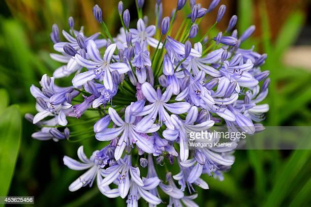 Rwanda Kigali Agapanthus Flower