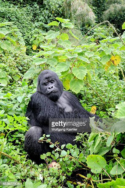Rwanda Volcano National Park Mountain Gorilla Silverback Feeding
