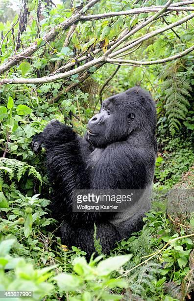 Rwanda Volcano National Park Mountain Gorilla Silverback Feeding