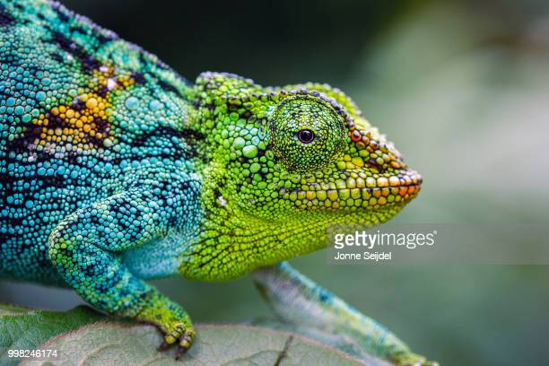 rwenzori three-horned chameleon - chameleon stock photos and pictures