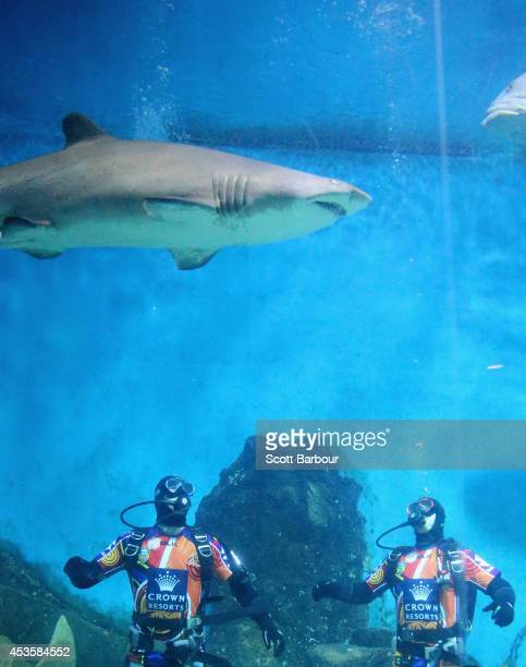 Ryan Hinchcliffe and Bryan Norrie of the Melbourne Storm look on as a shark swims above them as they dive with sharks at Shark Dive Xtreme Experience...