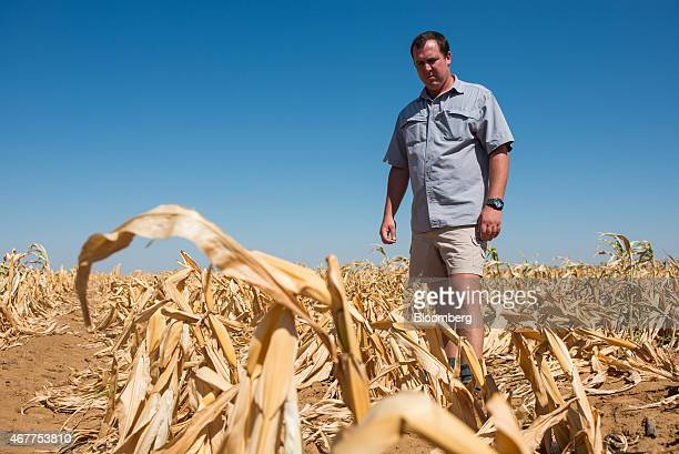 Ryan Mathews a farmer surveys a field of dried corn plants in a drought affected maize field in Lichtenburg North West Province of South Africa on...