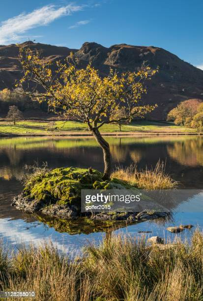 rydal tree - rydal water - lake district - lake district autumn stock pictures, royalty-free photos & images