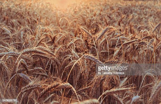 Rye ears in a field, vintage sunset background