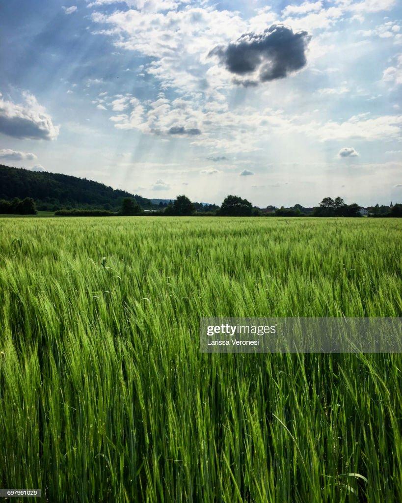 Rye field, Baden-Württemberg, Germany : Stock-Foto