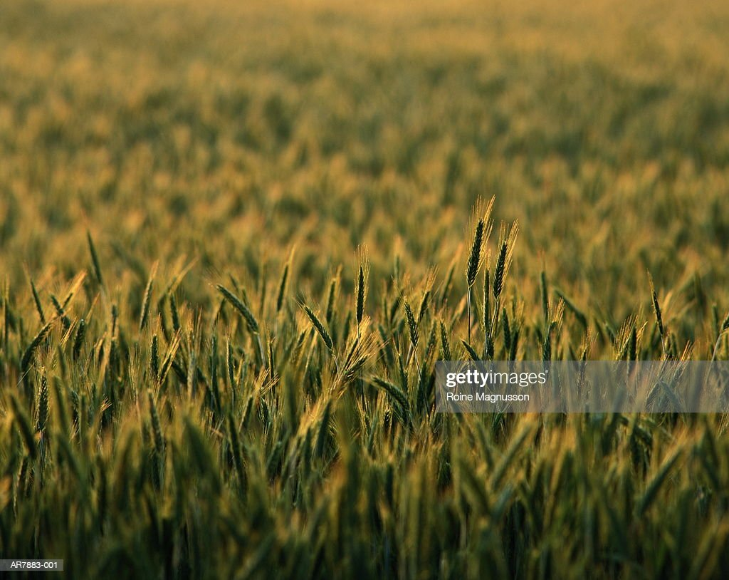 Rye (Secale cereale) field, close-up : Stock Photo