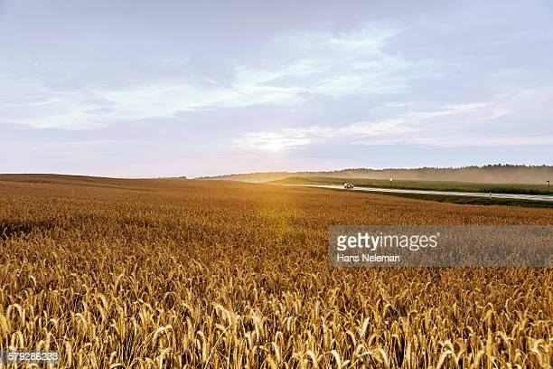 rye field in belarus - rye grain stock pictures, royalty-free photos & images