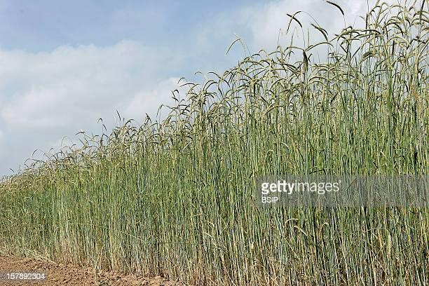 Rye Growing