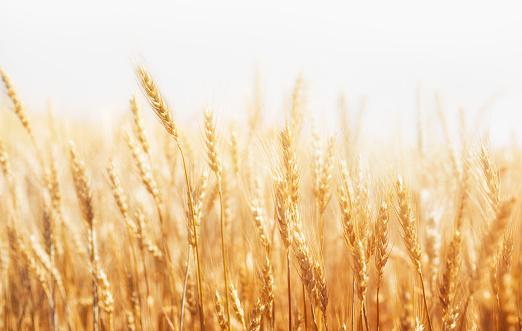 Rye on a white background. Harvest. 666229672
