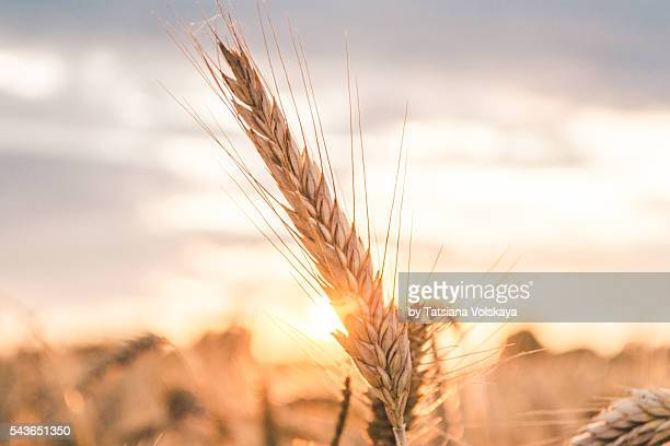 rye spike in a field close-up view, vintage sunset background