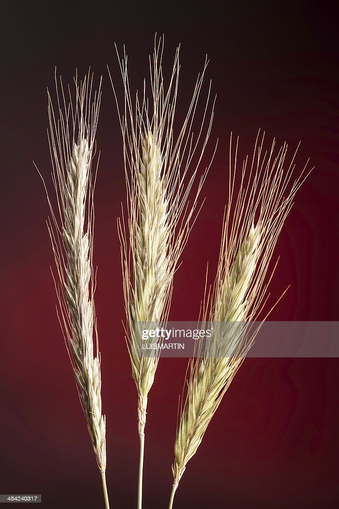 rye spikes : Stock Photo