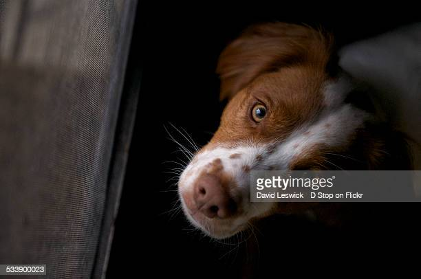 i's really like to go outside now - brittany spaniel stock pictures, royalty-free photos & images