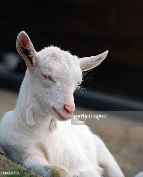 Saanen kid goat