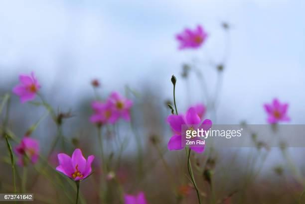 sabatia grandiflora, large-flower rose gentian, large-flower sabatia, large-flower marsh pink - zen rial stock photos and pictures