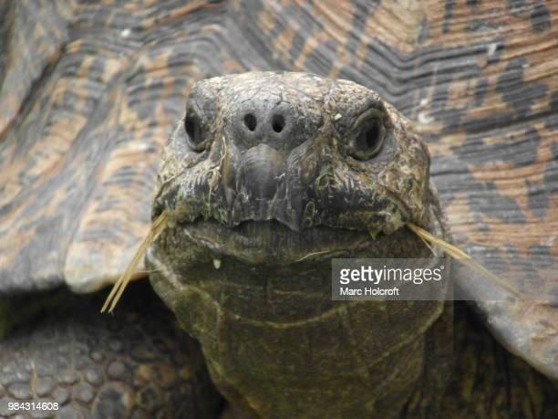 Saber-toothed Tortoise