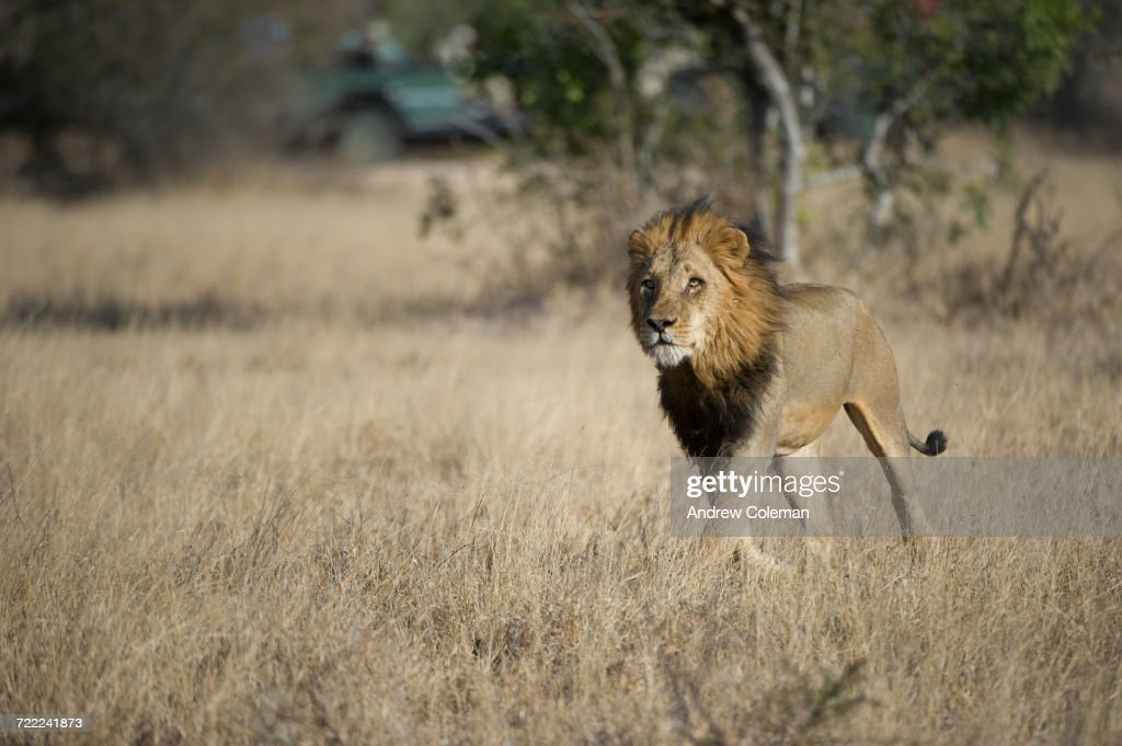 """""""A male lion, Panthera leo, running through field with safari jeep in background."""" : Stock Photo"""