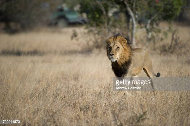 """a male lion, panthera leo, running through field with safari jeep in background."" - carnivora stock photos and pictures"