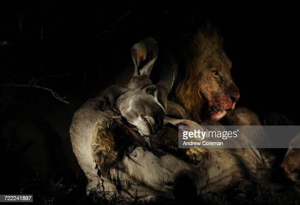 """""""A male lion, Panthera leo, with kudu kill in the dark."""""""