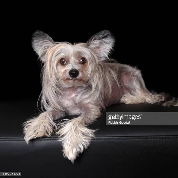 sable and white chinese crested dog on black backdrop - chinese crested dog stock photos and pictures