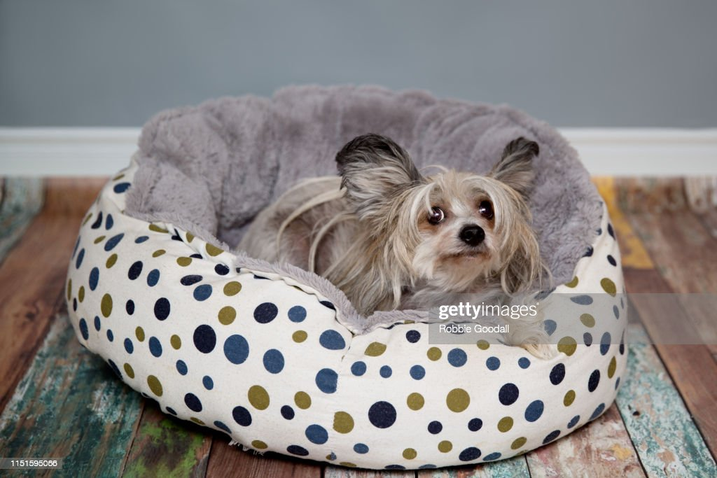 Chinese Crested Dog Sitting In Her Bed
