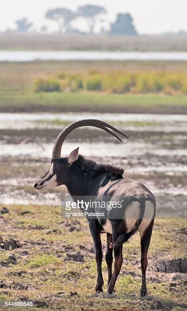 sable antelope in chobe national park - palanca negra imagens e fotografias de stock