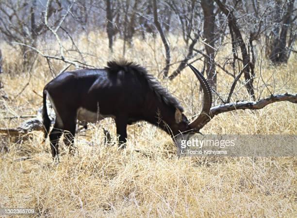 sable antelope in south africa - palanca negra imagens e fotografias de stock