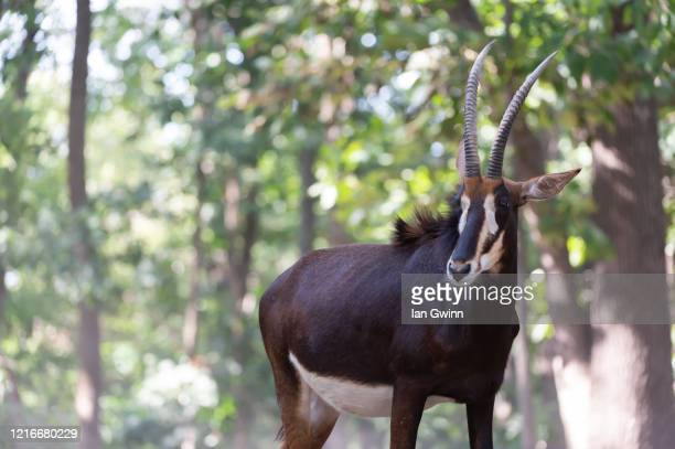 sable antelope - ian gwinn stock pictures, royalty-free photos & images