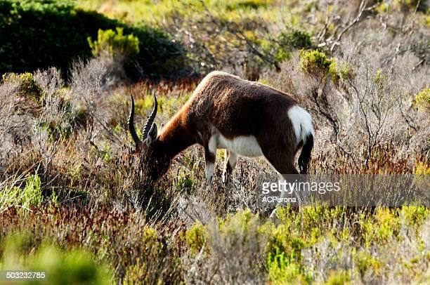 sable antelope - palanca negra imagens e fotografias de stock