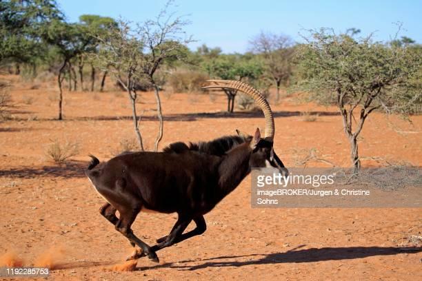 sable antilope (hippotragus niger), adult, male, runs through bushland, tswalu game reserve, kalahari, north cape, south africa - palanca negra imagens e fotografias de stock