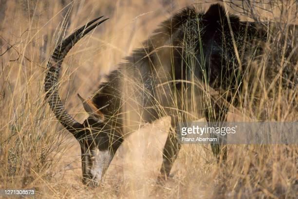 sable antilope, chobe national park - palanca negra imagens e fotografias de stock
