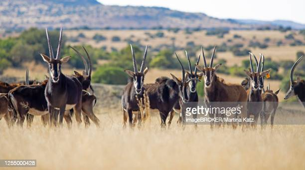sable antilopes (hippotragus niger) in the grass steppe, letsatsi private game reserve, smithfield, free state, south africa - palanca negra imagens e fotografias de stock