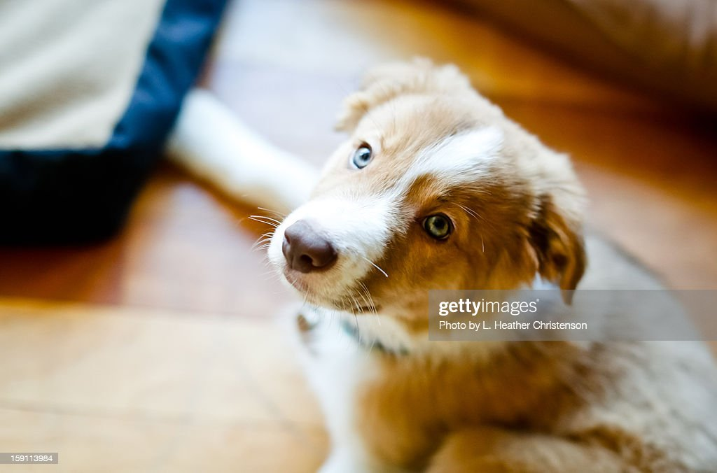 Sable Border Collie Puppy : Stock Photo