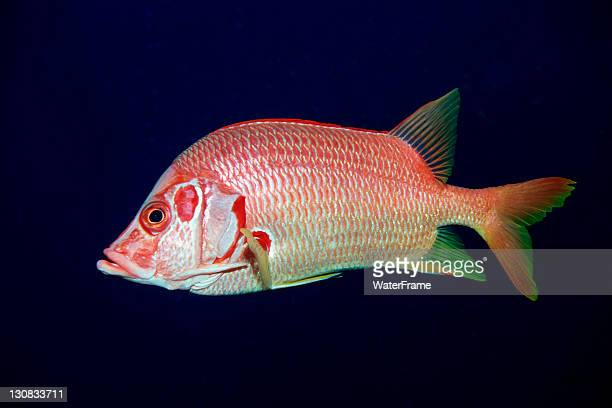sabre squirrelfish (sargocentron spiniferum), maldive islands, indian ocean - squirrel fish 個照片及圖片檔