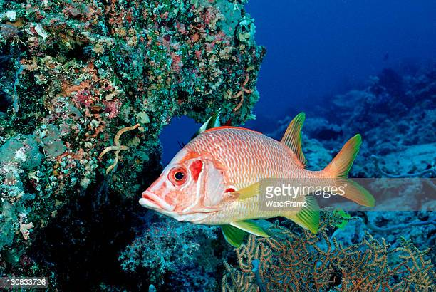 sabre squirrelfish (sargocentron spiniferum), maldives island, indian ocean - squirrel fish 個照片及圖片檔