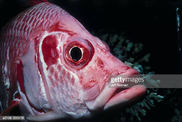 sabre squirrelfish - squirrel fish stock photos and pictures